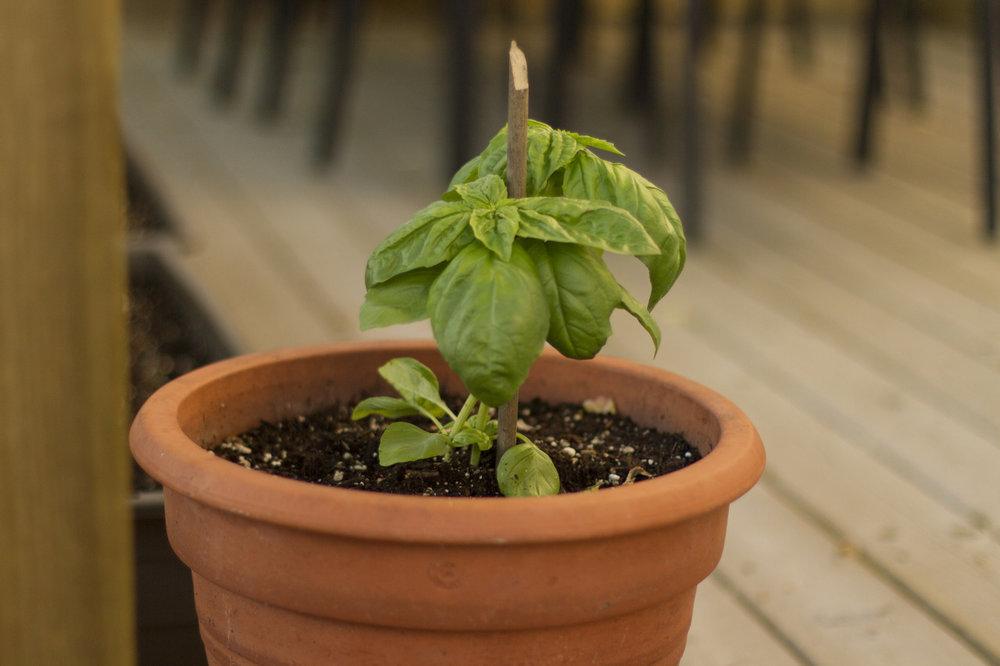Lettuce leaf/mammoth basil.