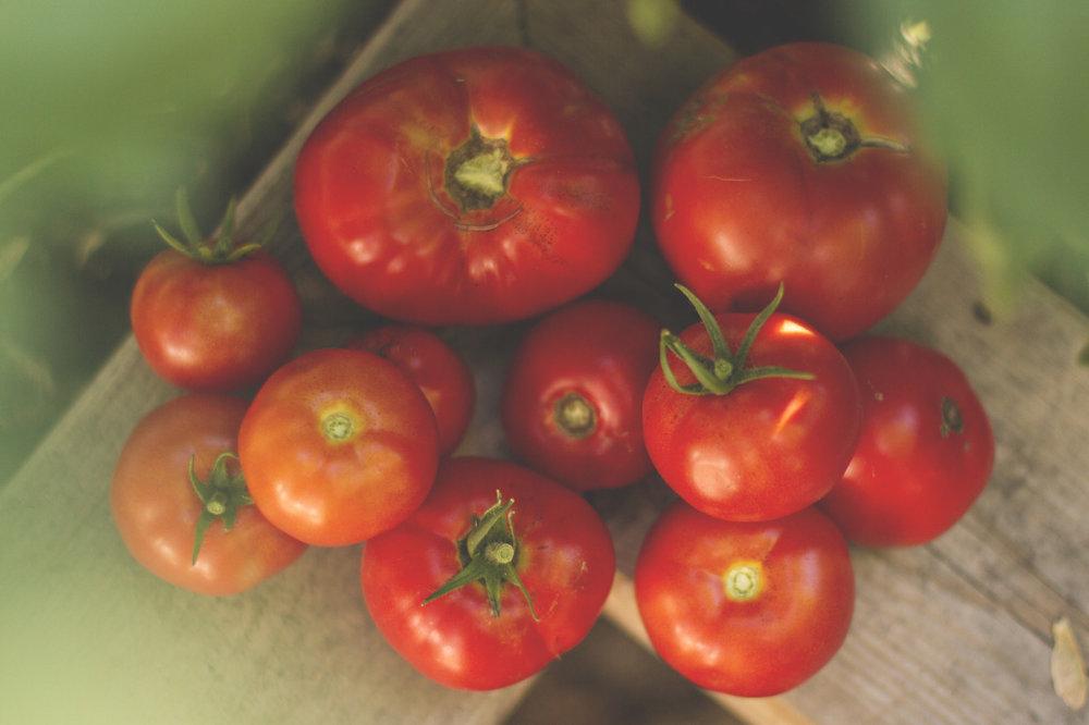 Saturday evening tomato harvest.