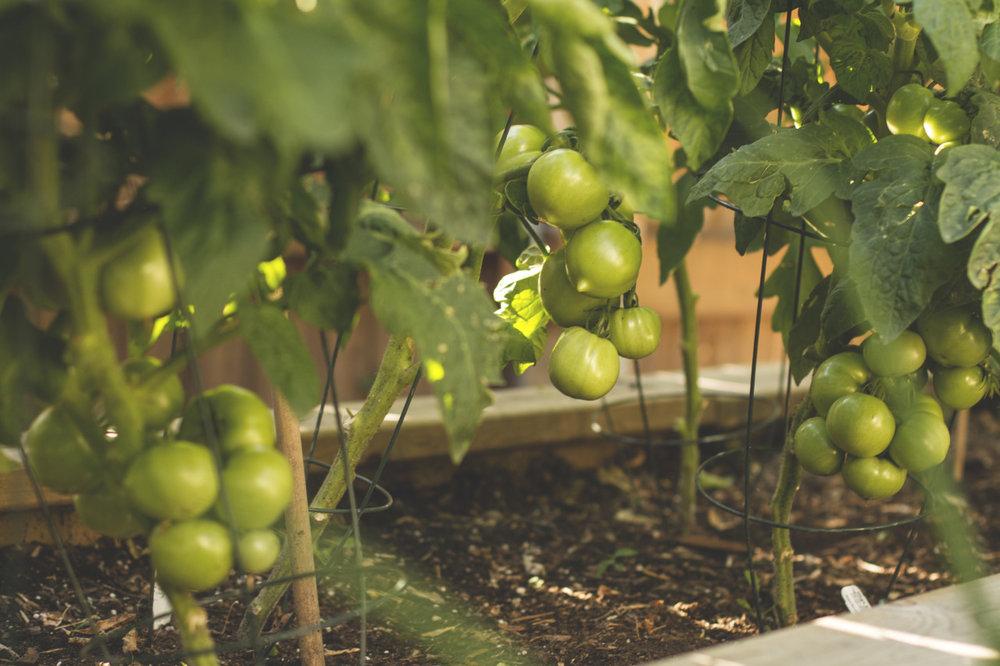 Mega bite tomatoes!