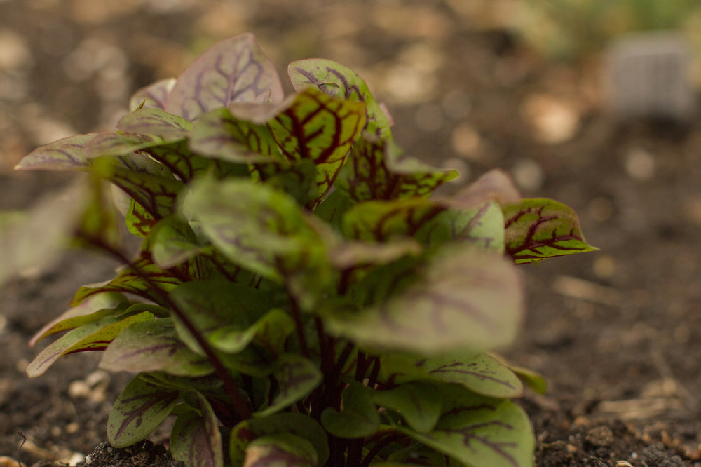 Red-veined sorrel.