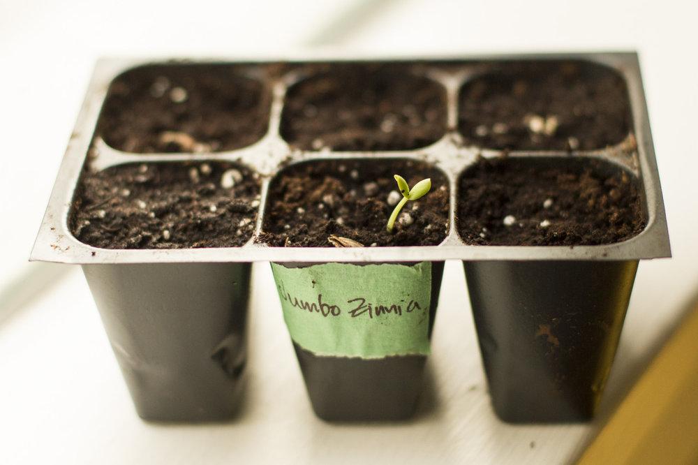 A Jumbo Zinnia seedling!