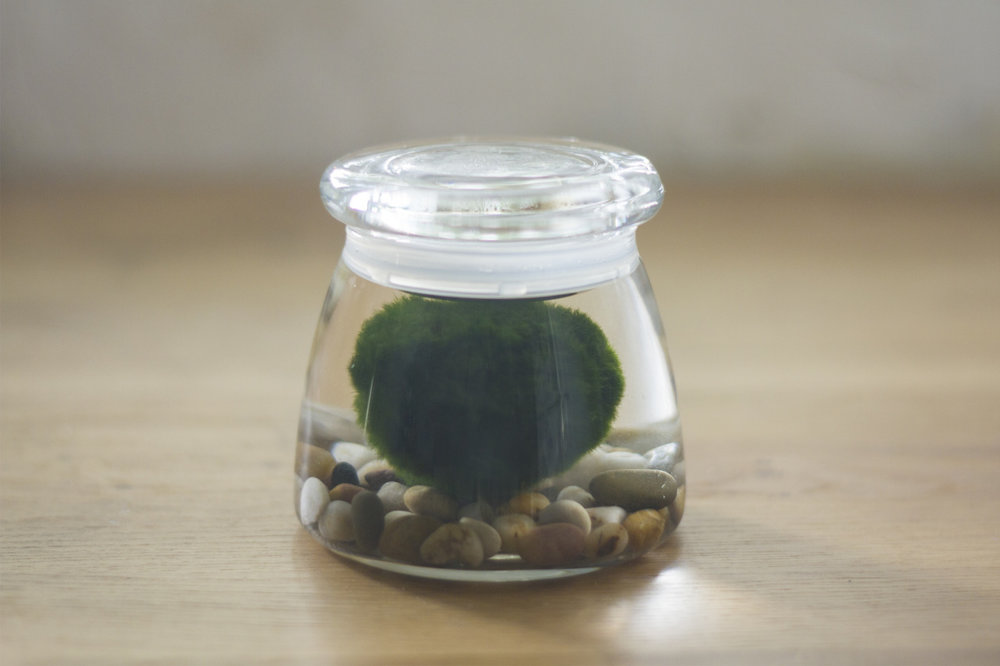 Aqua gardening - A marimo moss ball from Heidi and Brett.