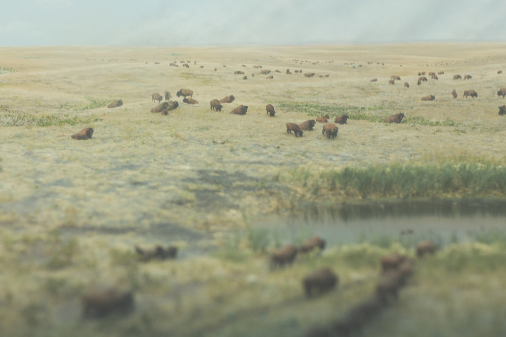 There were a ton of bison at Fort Whyte…