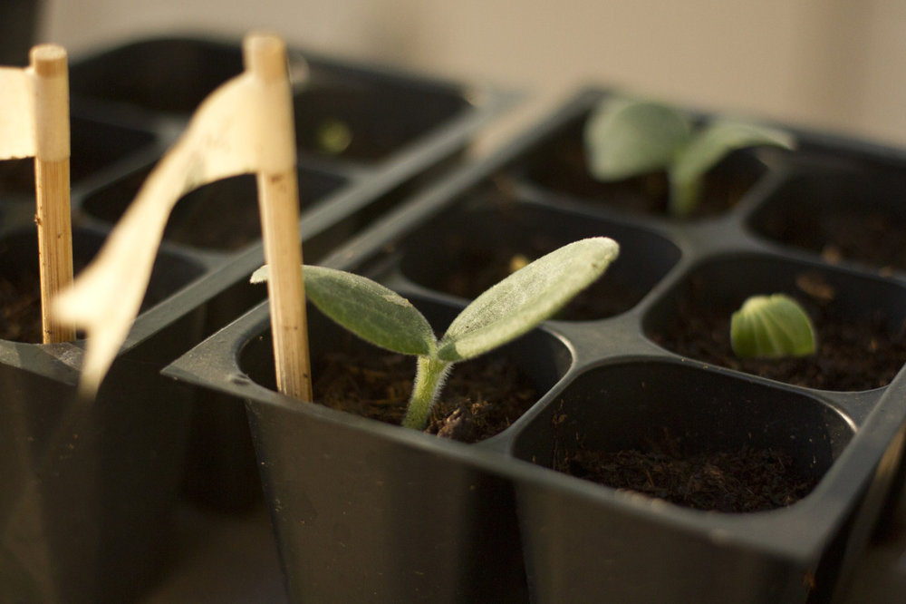 Summer squash seedlings.