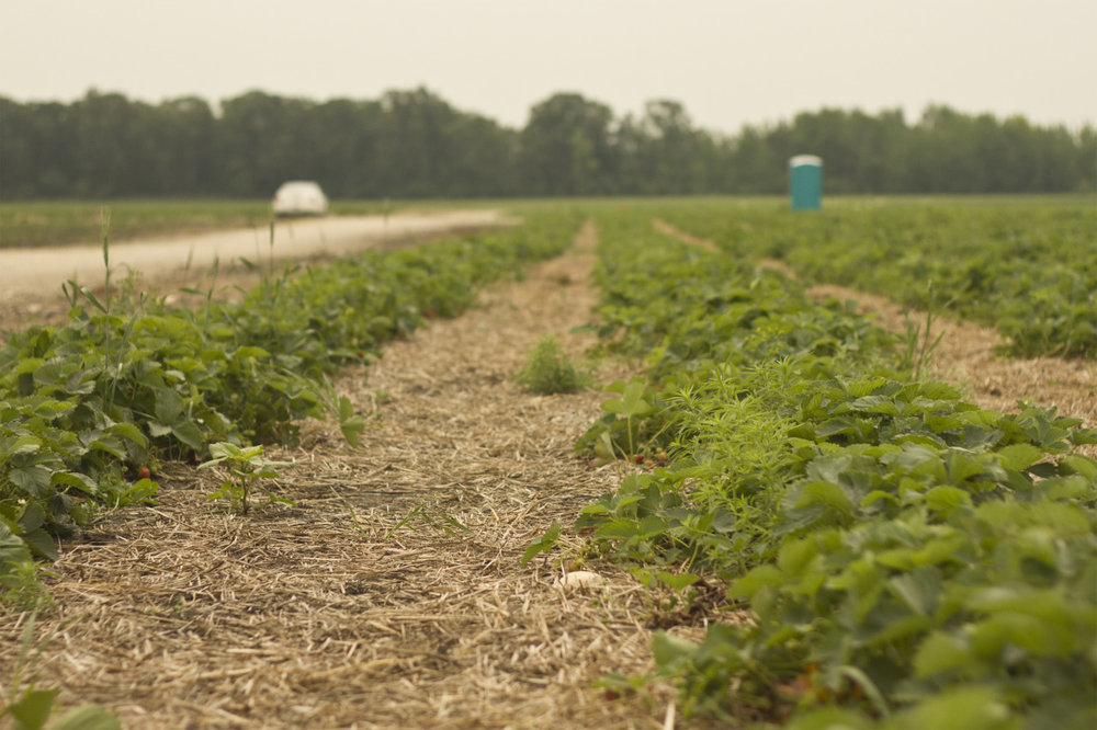 Rows of strawberries at Boonstra Farms.