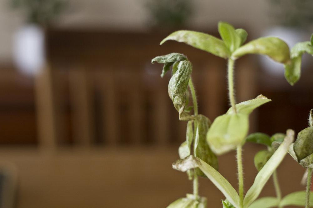 My poor zinnias.