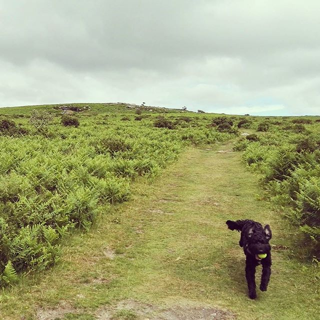 Fast becoming George's favourite #dartmoor walk and mine too. Anyone elses dog leap about through the ferns like a madman?! #cockapoosofinsta #cockapoo #pewtor #instadog