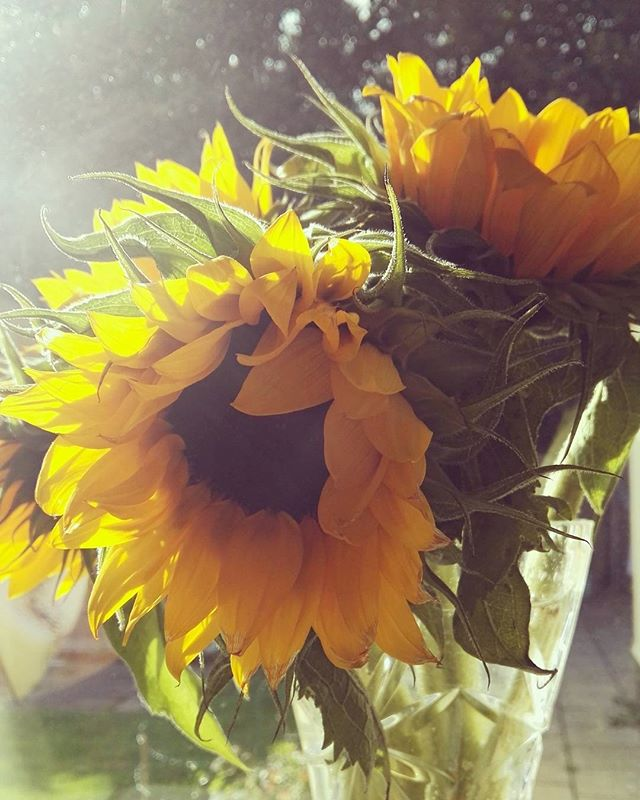 I could have sunflowers all year round. In the window, looking their best in the sunlight. 🌻🌻