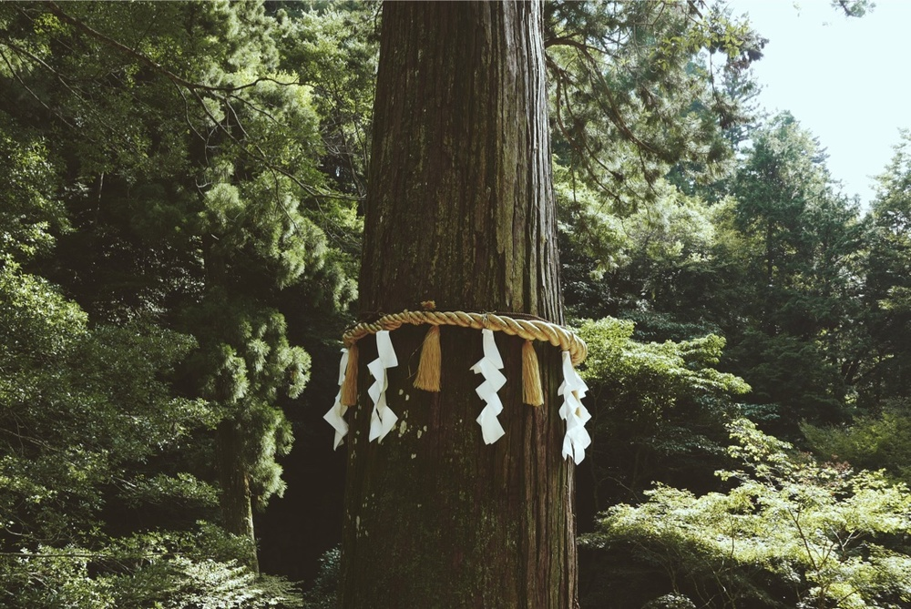 A revered tree on Kurama Mountain.