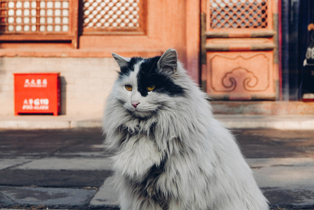 One of the Forbidden City's resident cats.