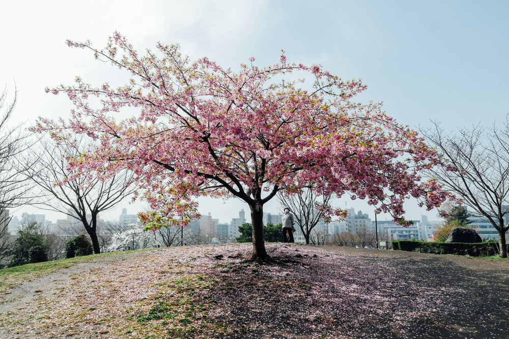 Cherry blossoms in Saigoyama Park.