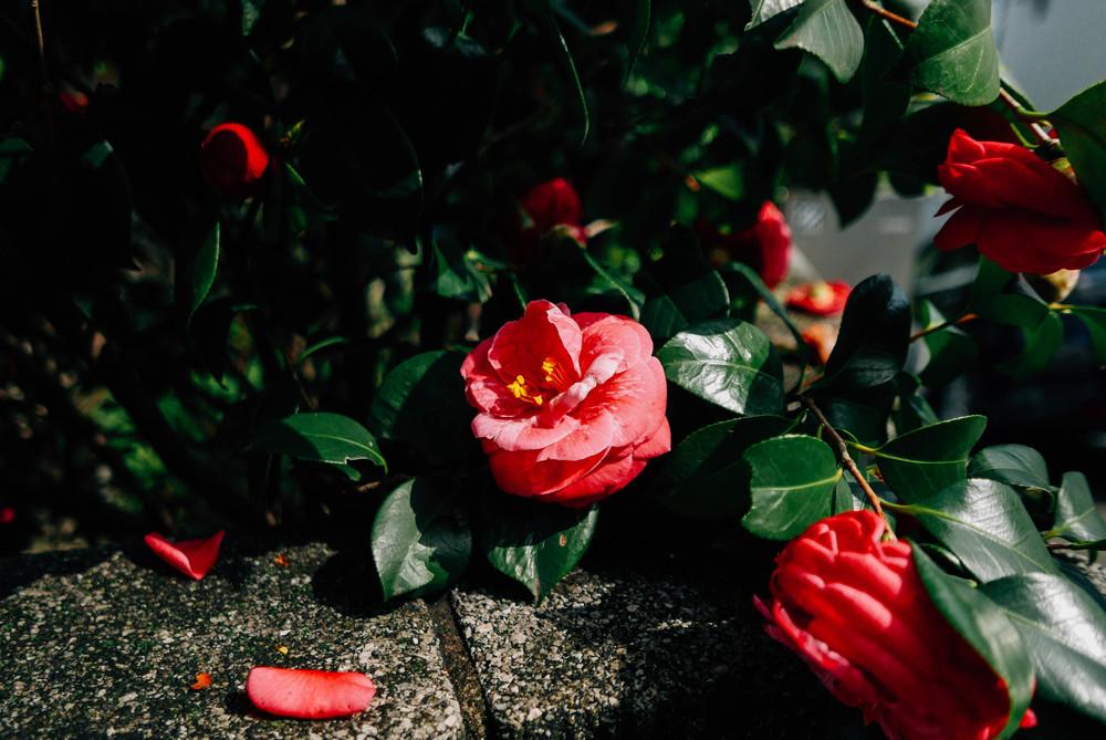 japanese-camellia.jpg