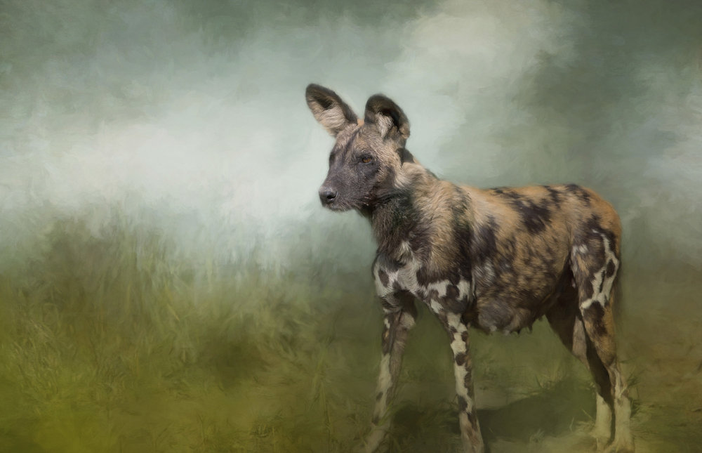 FEMALE AFRICAN WILD DOG.