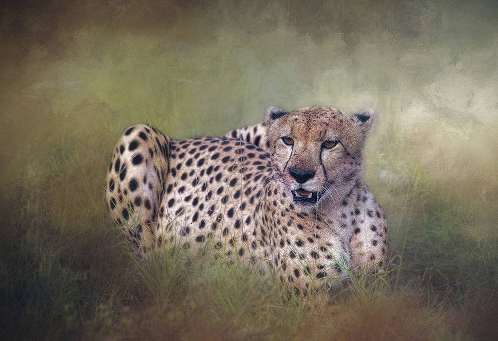 CHEETAH RESTING AFTER THE CHASE.