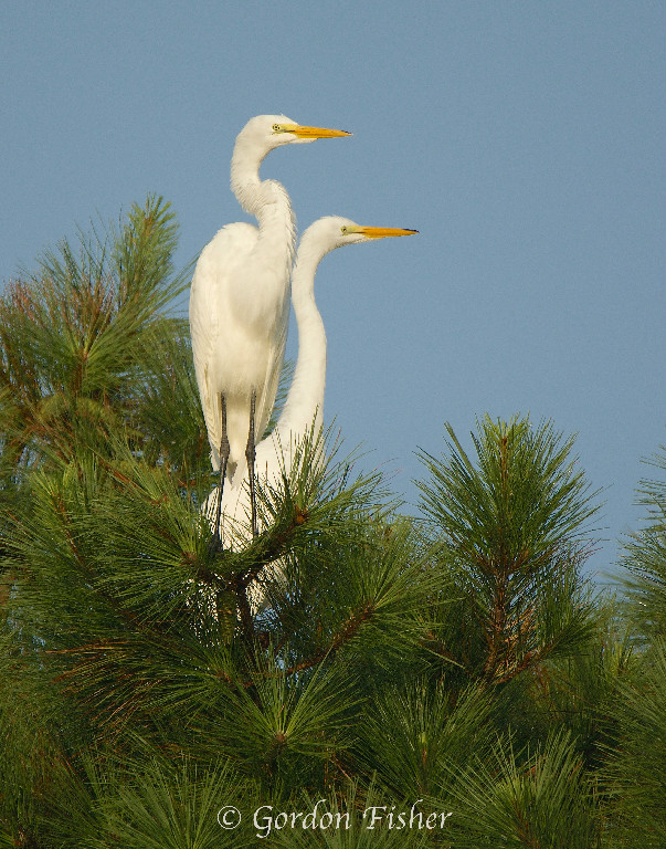 Elegant Egrets