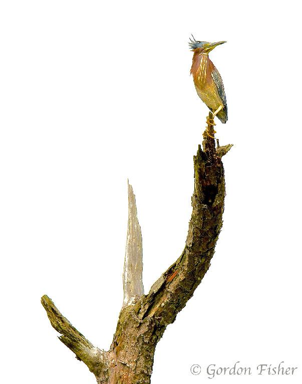 Green Heron #1