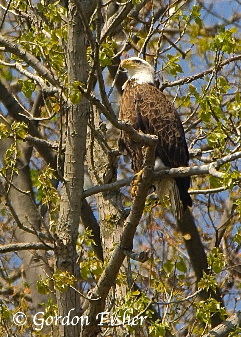 Harmar Eagle
