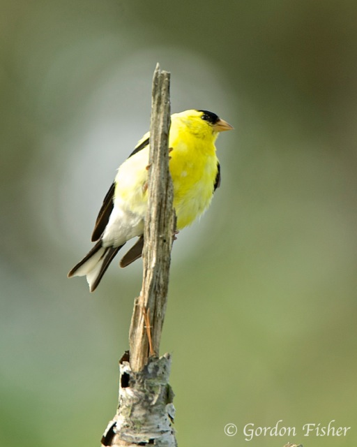 Glowing Goldfinch