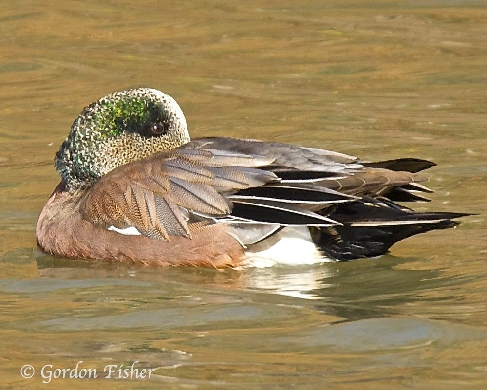Wary Widgeon