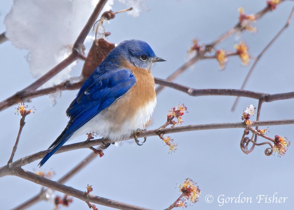 Winter Bluebird
