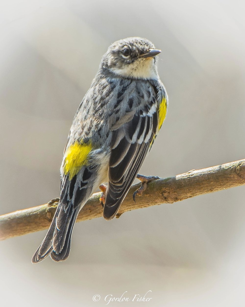 Proud Warbler