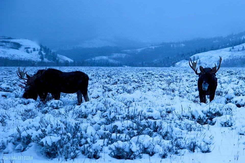 Moose near Grand Teton National Park | He and She Eat Clean