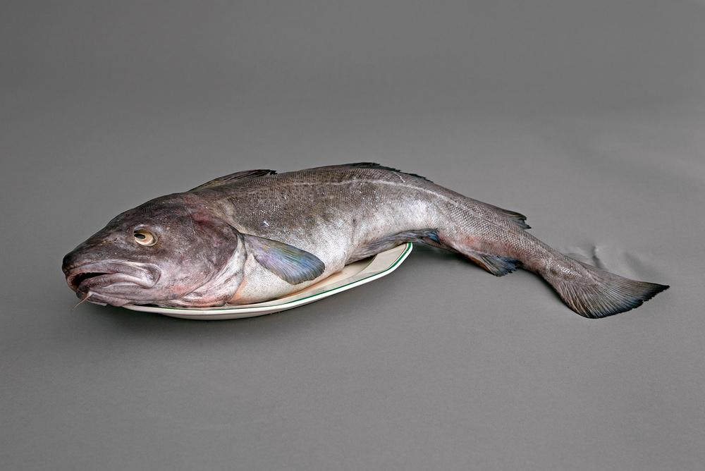 An Atlantic Cod, located in 2010 after a considerable effort.