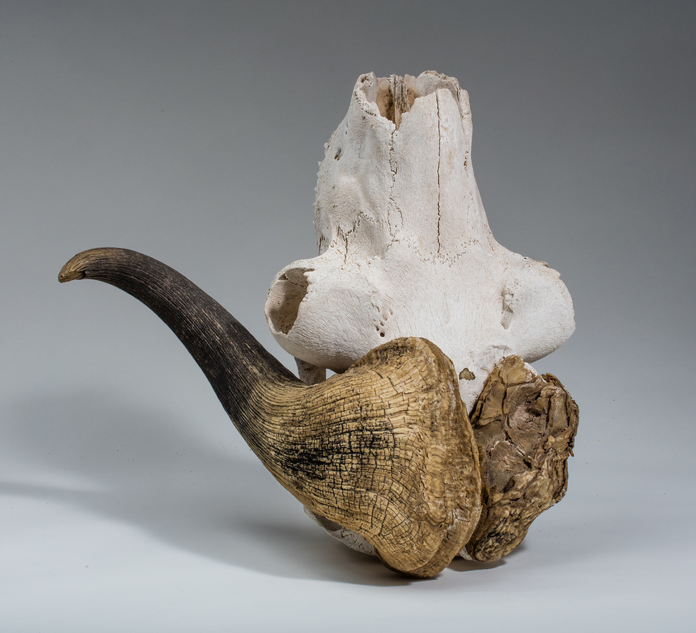Unlucky in love, muskox skull with broken horn.