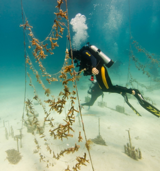 Ocean-based nurseries and projects can now obtain bouldering species and corals trained to be more resilient. Photo credit C. Kornylak