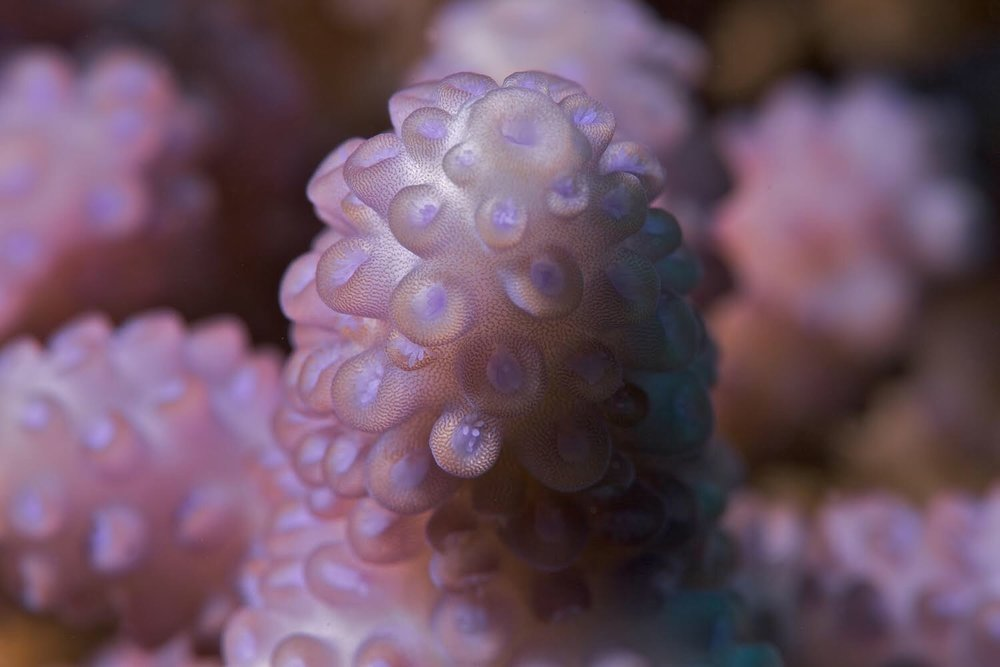 Close up of a reef-building Acropora coral, which is often found in coral farming projects. Photo credit: The Ocean Agency