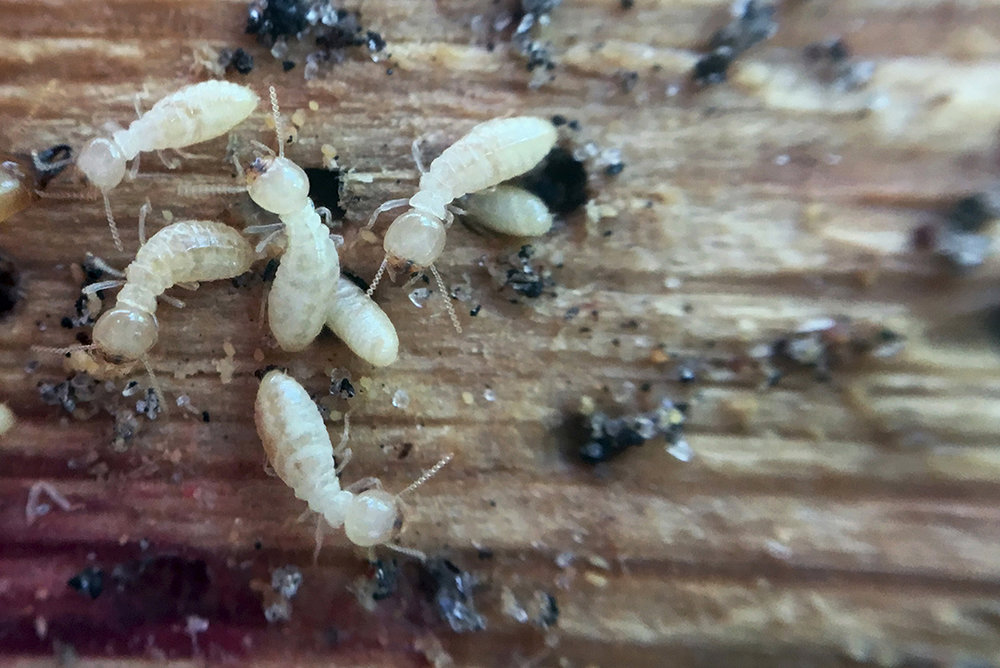 Documentation of Termites Eating Werkstadt Gallery, Research Photo, May 2017.