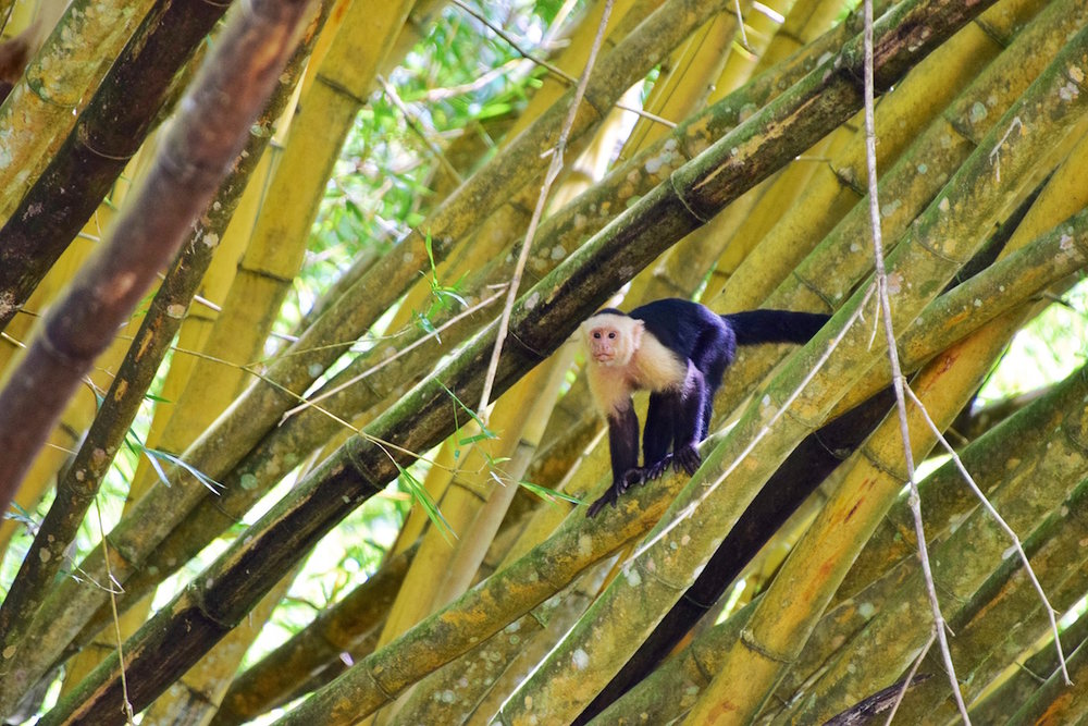 Monkeys are everywhere in Costa Rica. One of the best things to do in Costa Rica.   Tessa Juliette | Travel Where to Next http://travelwheretonext.com