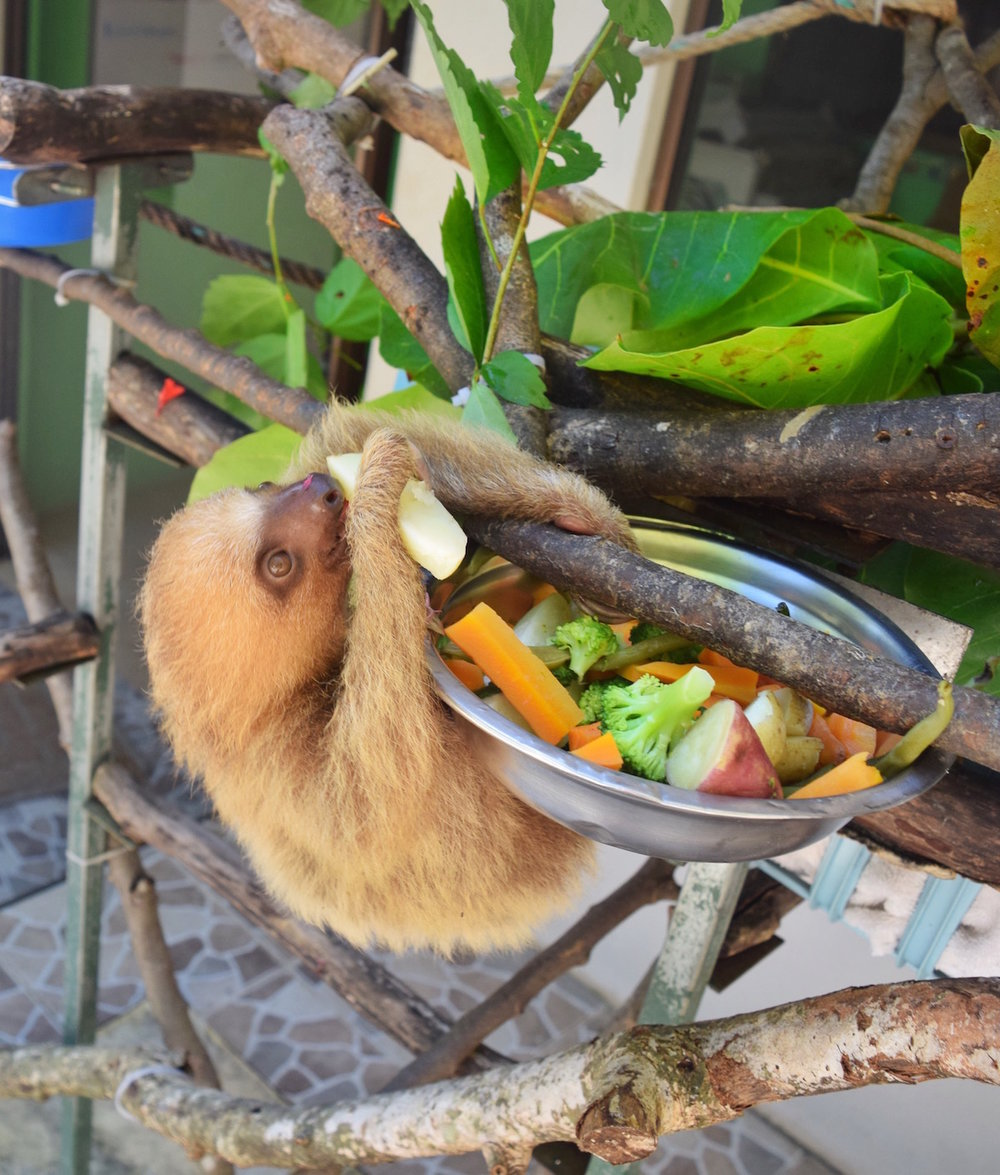Visiting a sloth sanctuary should be on your list when you go to costa rica.   One of the best things to do in Costa Rica.   Tessa Juliette | Travel Where to Next http://travelwheretonext.com