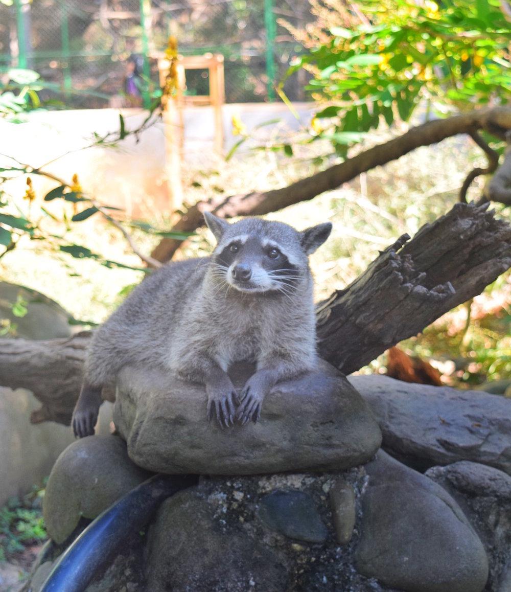 Costa-Rica-Animal-Rescue-sanctuary-racoon.jpg