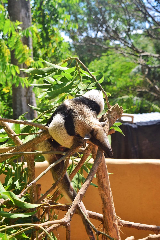 Costa-Rica-Animal-Rescue-anteater-sanctuary.jpg
