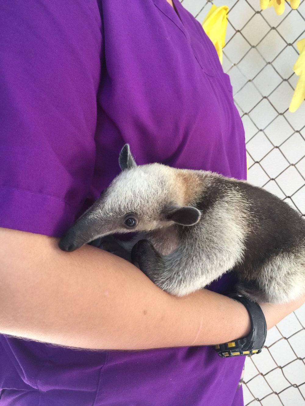 Vet holding a baby anteater