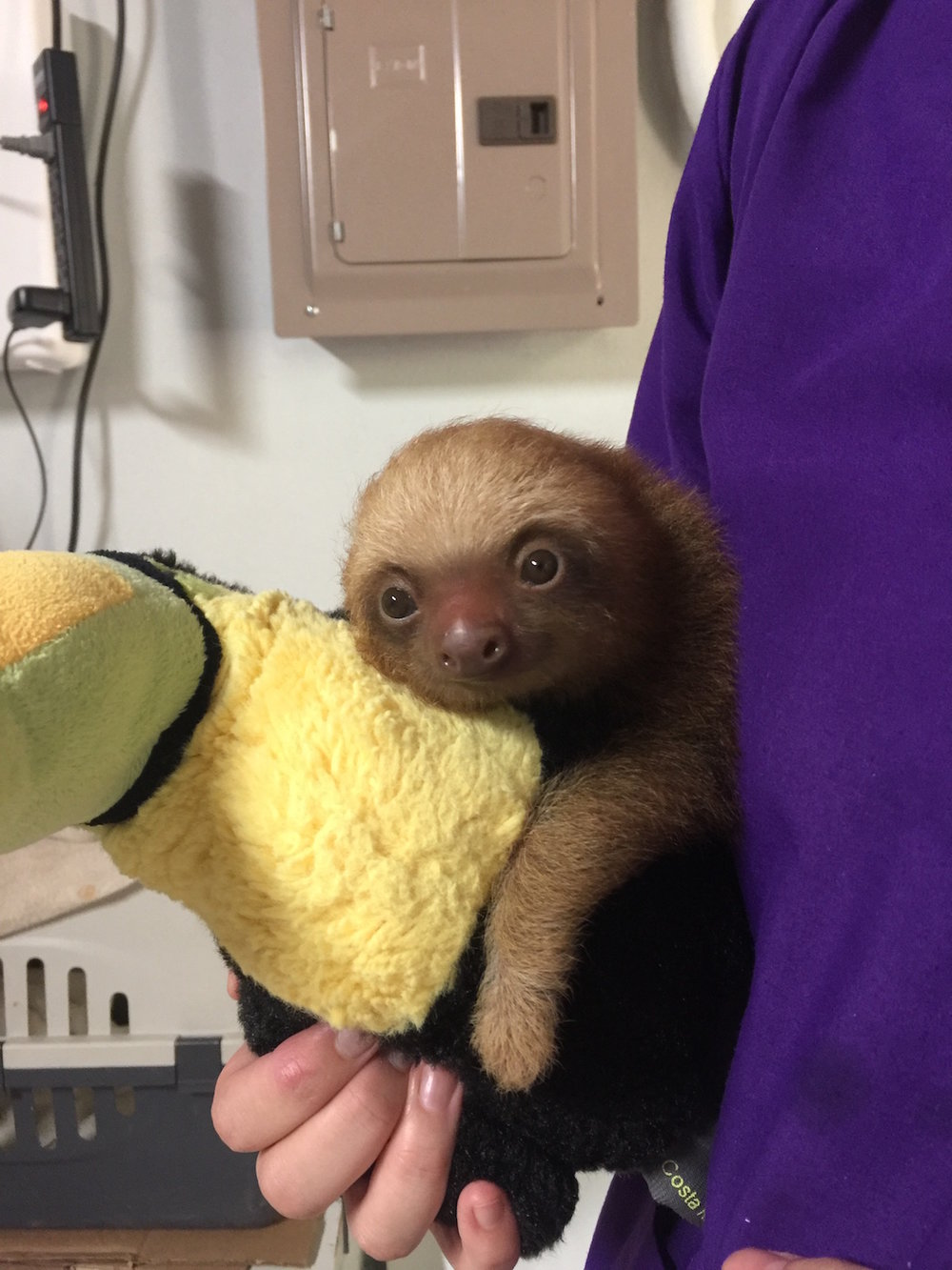 Vet holding a baby sloth