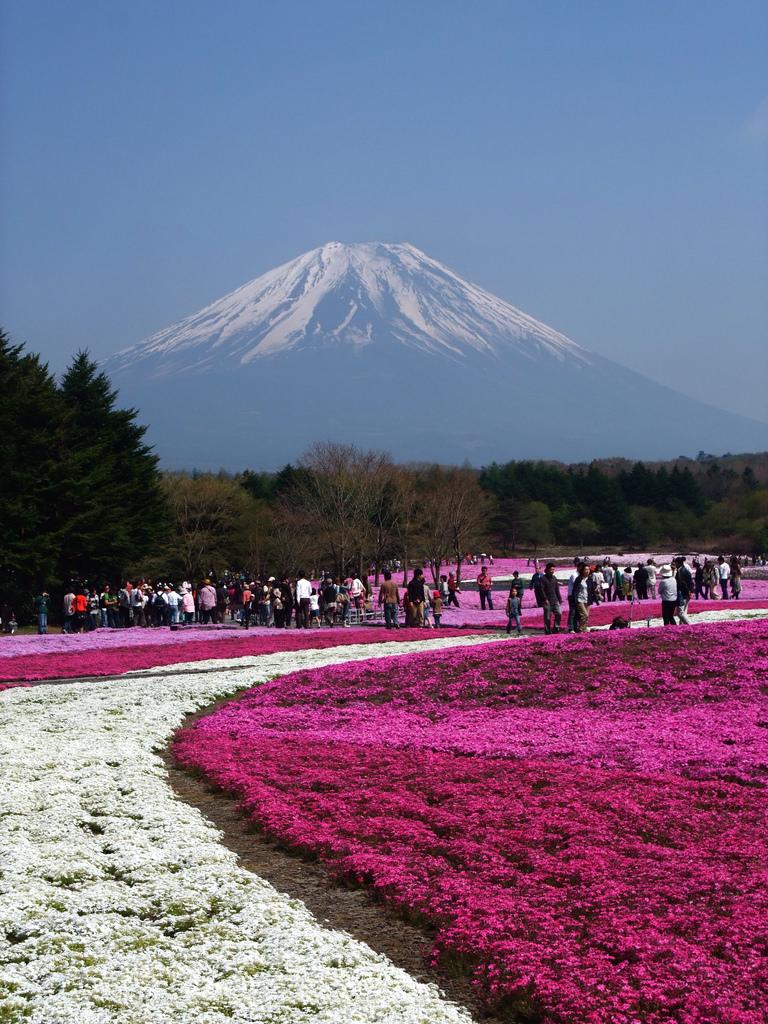 Mount Fuji from Fuji Shibazakura Festival