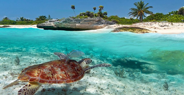 The turtles in Akumal Bay