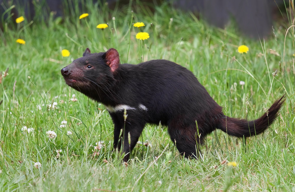 The very real animal known as the Tasmanian Devil - or Tassie Devil as they are known locally.