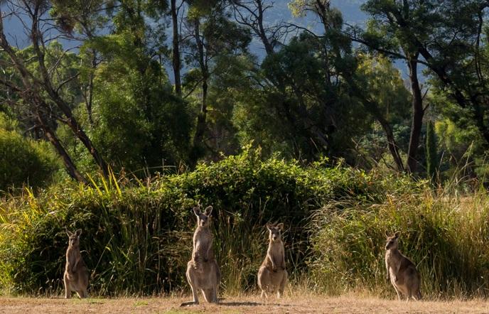Kangaroos right inside the main city of Halls Gap