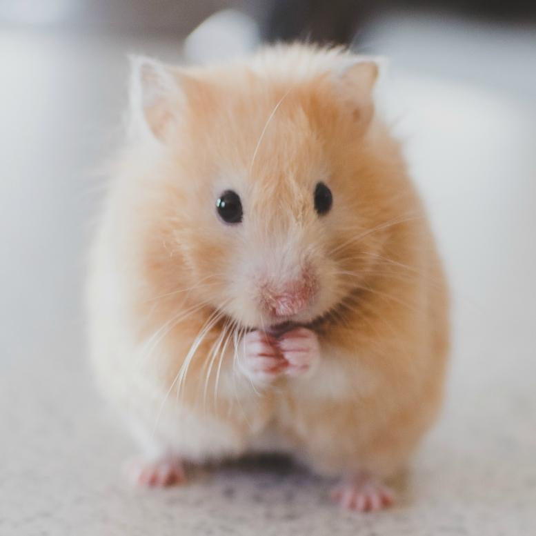 hamster sq.jpg