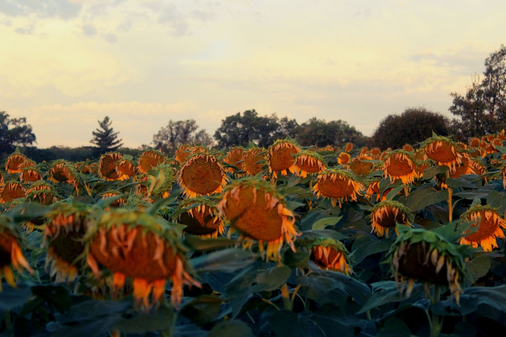 Sunflower Field, Kansas