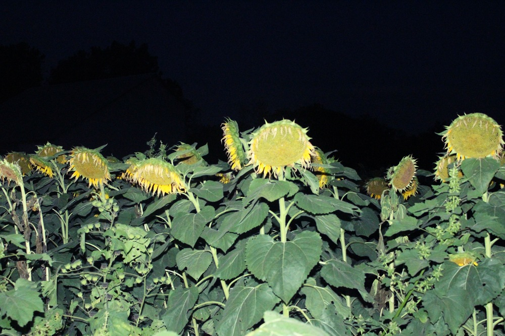 Sunflower Field At Night, Kansas