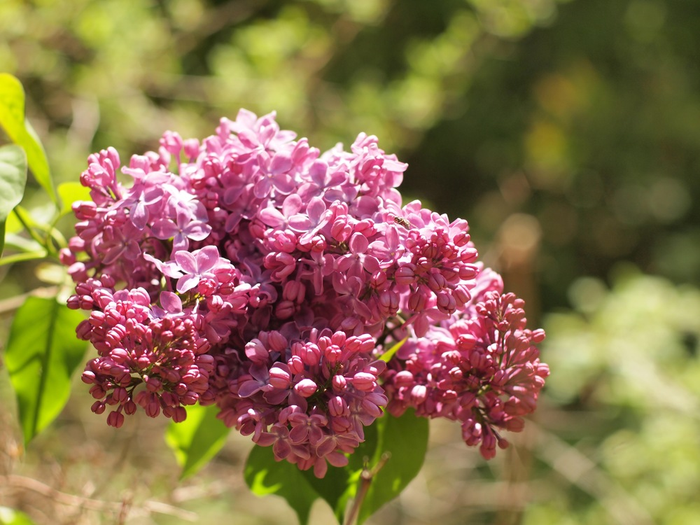 Opportunity often is ephemeral, like the lilac.