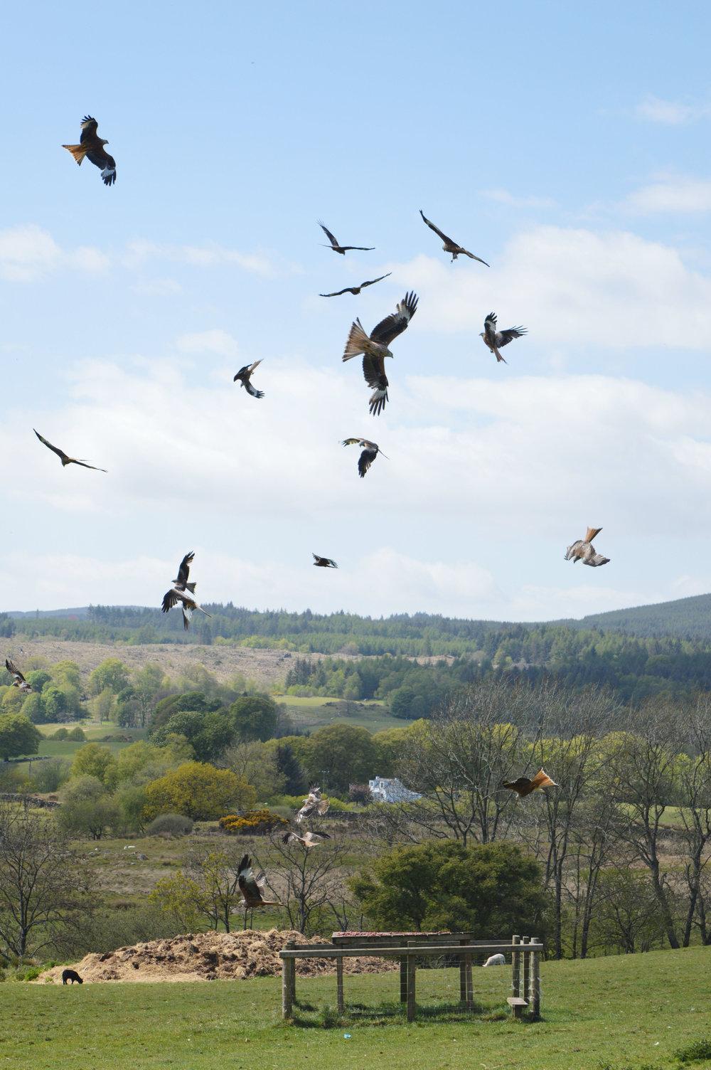 Bellymack Hill Farm - Kite Feeding Station