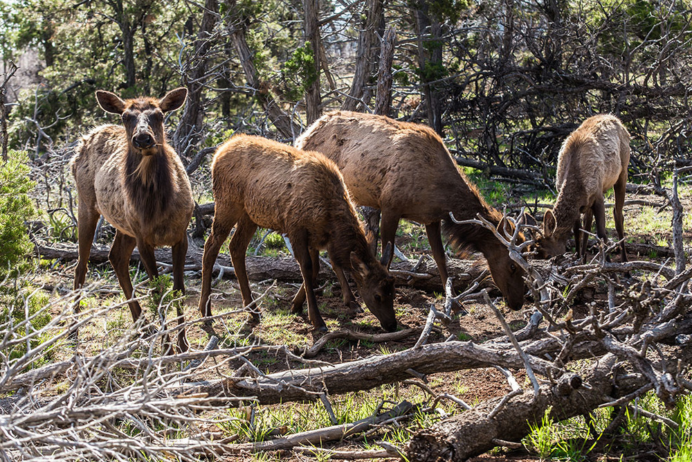 Elk Family in Grand Canyon-2.jpg