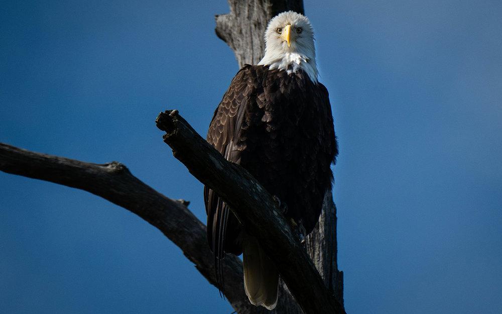broken-bow-lake-4-seasons-fishing-guide-service-bald-eagle-1.jpg