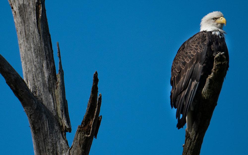 broken-bow-lake-4-seasons-fishing-guide-service-bald-eagle-2.jpg