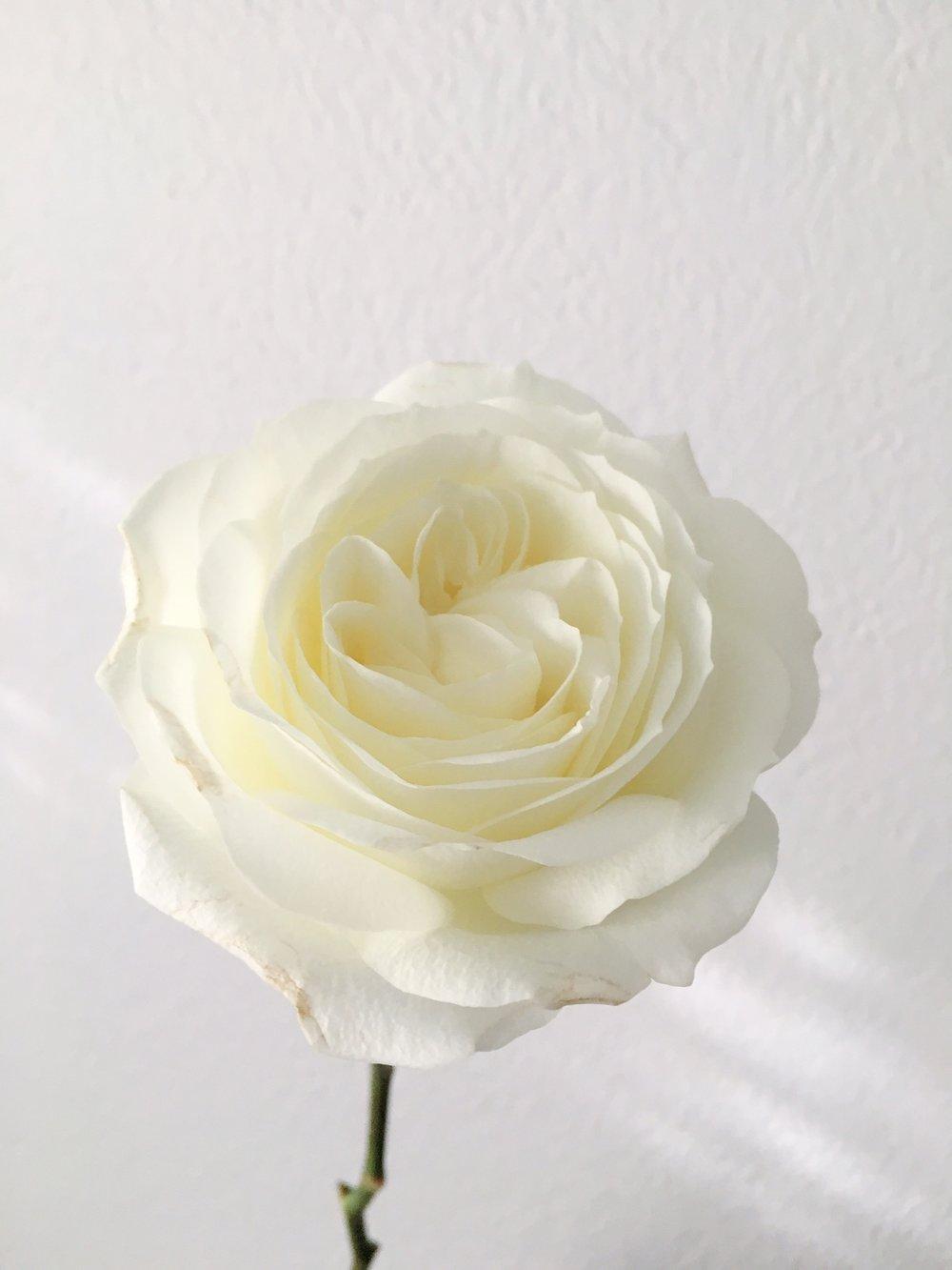 ALBASTER GARDEN ROSE